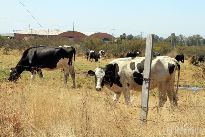 vacas pastando ASC_2733